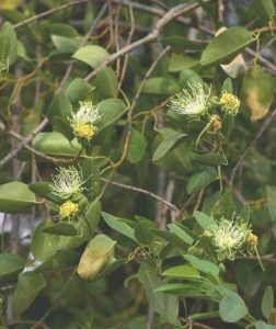 Maerua angolensis. Photo: Bart Wursten. Source: Flora of Zimbabwe.