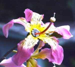 Hibicus-like flower of the Brazil kapok, Botanic Garden. Photo: Ryan Truscott