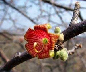 Sterculia rogersii,. Photo: Alan Gardiner. Source: Flora of Zimbabwe