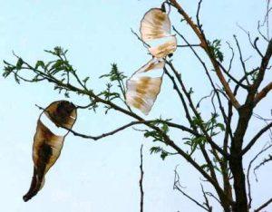 Entada abyssinica. Photo: Bart Wursten. Source: Flora of Zimbabwe