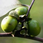 Diospyros squarrosa. Photo: Mark Hyde. Source: Flora of Zimbabwe