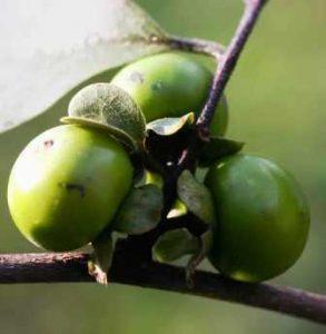 Diospyros squarrosa. Photo: Mark Hyde. Source: Flora of Zimbabwe