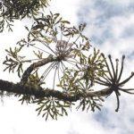 Cussonia spicata subsp. triptera. Photo: Bart Wursten. Source: Flora of Zimbabwe