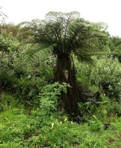 Cyathea dregei. Photo: Petra Ballings. Source: Flora of Zimbabwe
