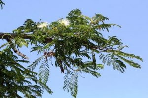 Albizia harveyi. Photo: Bart Wursten. Source: Flora of Zimbabwe