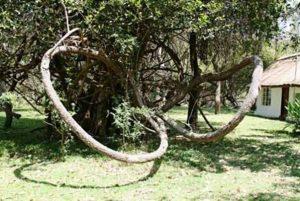 Artabotrys brachypetalus. Photo: Mark Hyde. Source: Flora of Zimbabwe