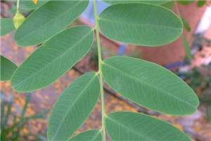 Tipuana tipu leaflets with notched tips