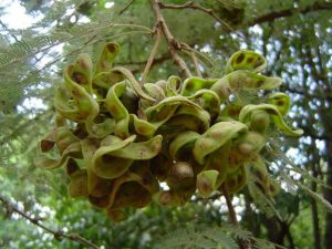 Dichrostachys cinerea. Photo: Bart Wursten. Source: Flora of Zimbabwe.