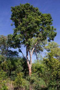 Pericopsis angolensis. Photo: Petra Ballings. Source: Flora of Zimbabwe.