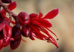 Schotia brachypetala. Photo: P.English. Source: Flora of Zimbabwe
