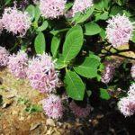 Dais cotinifolia flowers