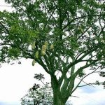 Kigilia africana - showing fruits