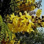 Peltophorum africanum flowers