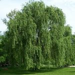 Salix alba; Willow; Photo Wikipedia
