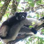 Indri Lemur found in Madagascar