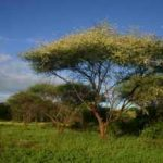 "Acacia tortilis is being ""ousted"" by Prosopis juliflora in north west Kenya"