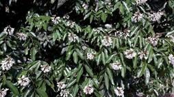 Crabia brevicaudata : Photo: Wikipedia