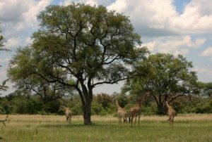 Combretum imberbe (leadwood). Photo: Burt Wursten. Source: Flora of Zimbabwe