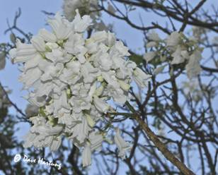 White jacaranda flowers Photo by Dave Hartung