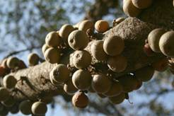 Ficus sansibarica in fruit (photo Mark Hyde)