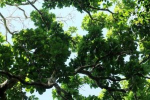 Inhambanella henriquesii. Photo: Bart Wursten. Source: Flora of Zimbabwe