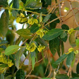 Combretum erythrophyllum.Photo: JMK. Source: Wikipedia