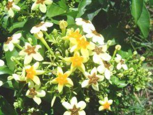 Mussaenda arcuata flowering; Photo: Bart Wursten. Source: Flora of Zimbabwe