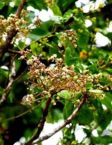 Ekebergia benguelensis. Photo: Bart Wursten. Source: Flora of Zimbabwe