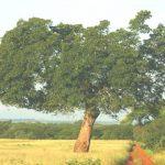 Afzelia quanzensis. Photo: Bart Wursten. Source: Flora of Zimbabwe.