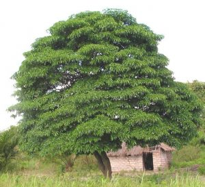 Rauvolfia caffra. Photo: Josh Stevens. Source: Flora of Zimbabwe
