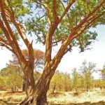 Acacia sieberana. Photo: Meg Coates Palgrave. Source: Flora of Zimbabwe
