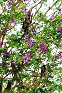Mundulea sericea. Photo: Bart Wursten. Source: Flora of Zimbabwe