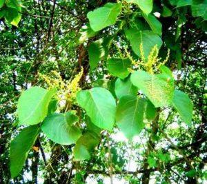 Macaranga capensis. Photo: Bart Wursten. Source: Flora of Zimbabwe