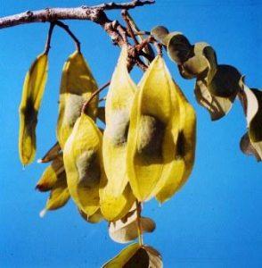 Xeroderris stuhlmanni. Photo: Mike Bingham. Source: Flora of Zimbabwe