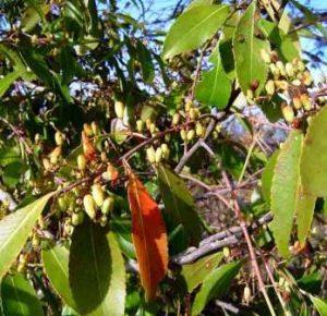 Catha edulis . Photo: Bart Wursten. Source: Flora of Zimbabwe