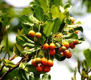 Merua kirkii. Photo: Bart Wursten. Source: Flora of Zimbabwe