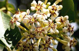 Schrebera alata. Photo: Bart Wursten. Source: Flora of Zimbabwe