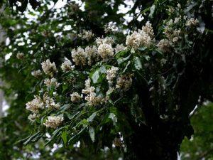 Craibia brevicaudata. Photo: Bart Wursten. Source: Flora of Zimbabwe