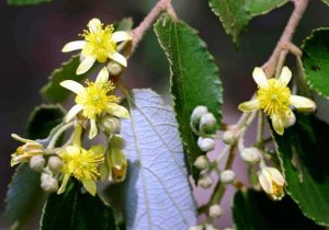 Grewia monticola. Photo: Bart Wursten. Source: Flora of Zimbabwe