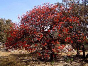 Erythrina abyssinica. Photo: Bart Wursten. Source: Flora of Zimbabwe,