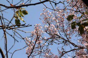 Stereospermum kunthianum. Photo: Mark Hyde. Source: Flora of Zimbabwe