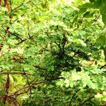 Acacia goetzei. Photo: Bart Wursten. Source: Flora of Zimbabwe