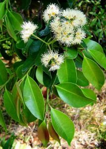 Syzygium guineense sub afromontanum. Photo: Bart Wursten. Source: Flora of Zimbabwe