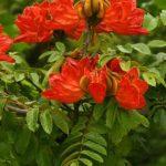 Spathodea campanulata flowers