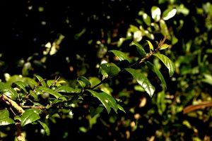Rhamnus prinoides. Photo: Bart Wursten. Source: Flora of Zimbabwe