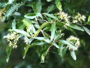 Nuxia oppositifolia. Photo: Bart Wursten. Source: Flora of Zimbabwe