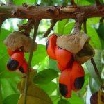 Trichilia dregeana. Photo: Bart Wursten. Source: Flora of Zambia