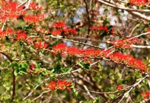Combretum microphyllum. Photo: Petra Ballings. Source: Flora of Zimbabwe