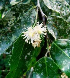 Rawsonia lucida. Photo: Bart Wursten. Source: Flora of Zimbabwe
