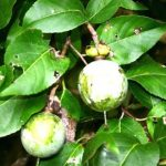 Oncoba spinosa. Photo: Bart Wursten. Source: Flora of Zimbabwe